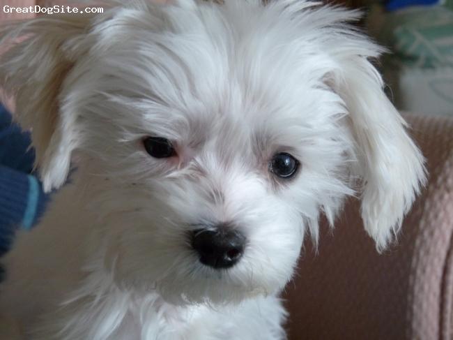 Maltese, 6 mounths, white, so cute