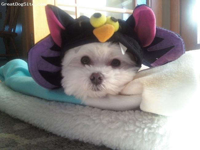 Maltese, 4, white, niko on halloweeen