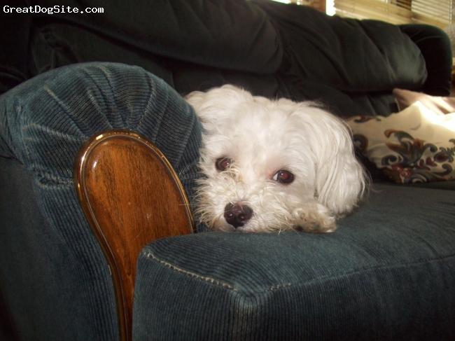 Maltese, 2, White, resting