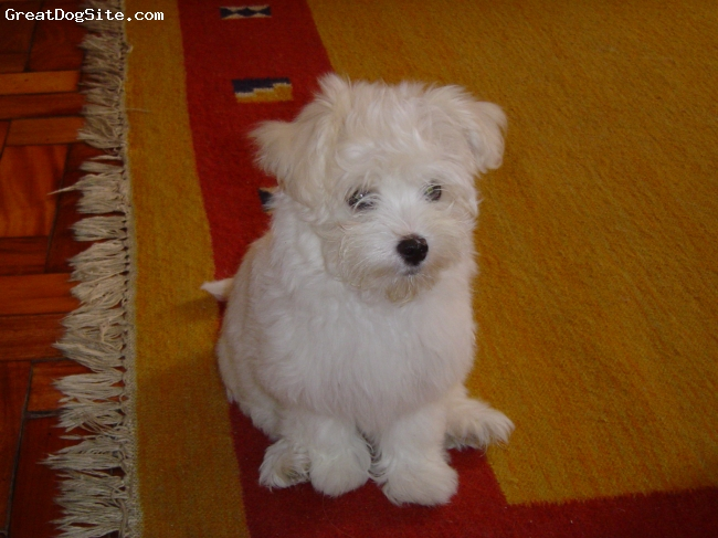 Maltese, 5 months, white, beutifull,fashion,brasilian dog,femea