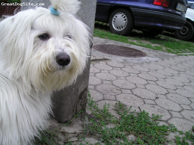 Maltese, 4 Years, White, This is a male dog, full of humor, always ready to play, loves barking :-)