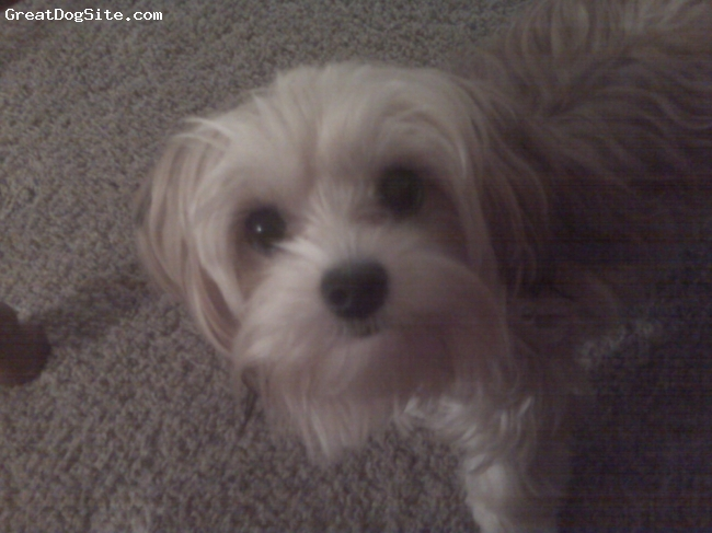 Maltese, 10 mobths, light brown/white, Bella is a morkie but I couldn't find the option in the breed drop down box. She loves to play and is very loving and cuddly. She always has to be where we are and is extremely smart!