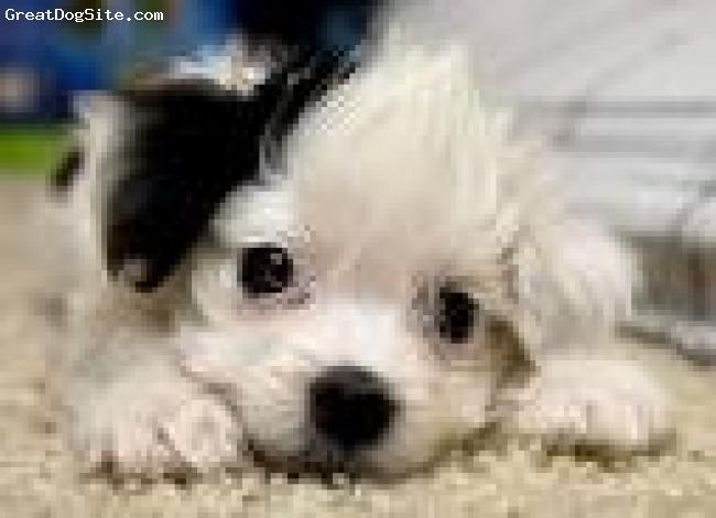 Maltese, 2, black/white, adorable,playful,fun-loving pup!