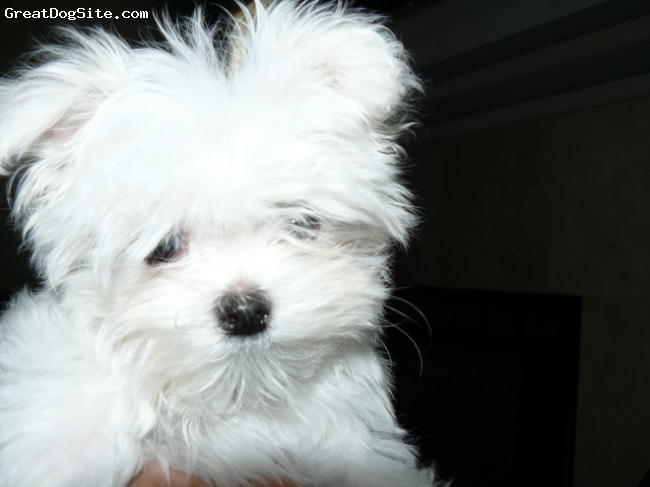 Maltese, 5 months, White/black points, Teddy is a beautiful little fella.  He will weigh approximately 3 pounds as an adult, and he is just precious.  altho small he believes himself to be a Big Dog  lol   ; ) He has the beautiful black points nose, lips, eyeliner, and pads. He also possess  the Baby-doll face and Gorgeous silky white coat.