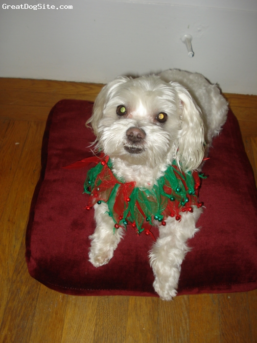 Maltese, 6yrs, White, The love of my heart!