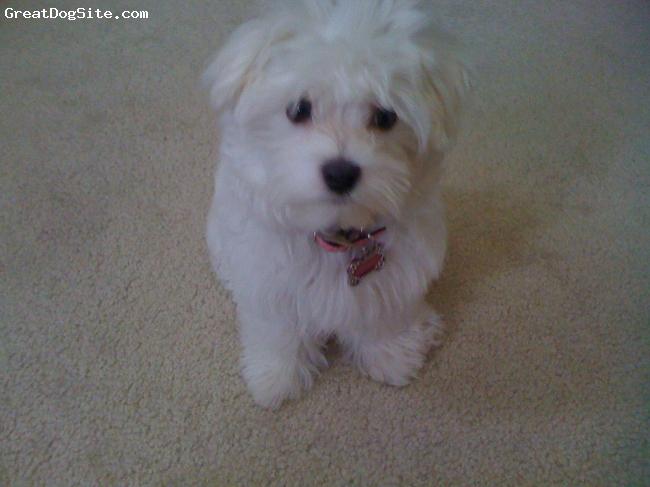 Maltese, 5 months, white, my precious Camille