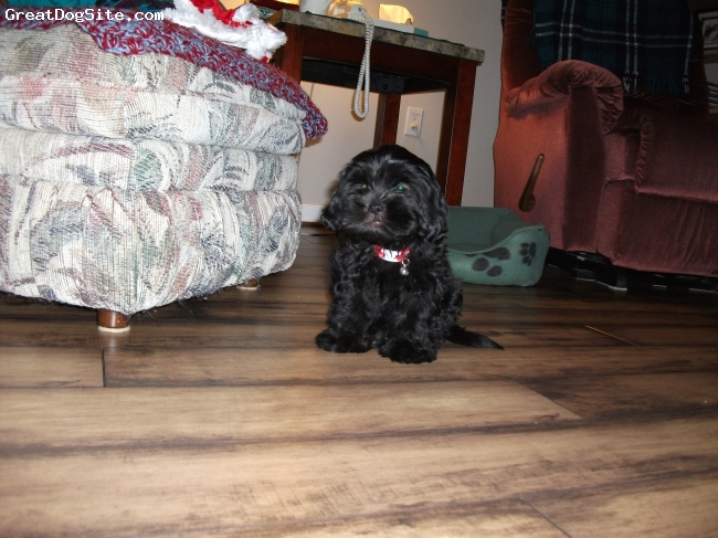 Maltese, 2 mos, black, maltipoo -very affectionate and sensitive