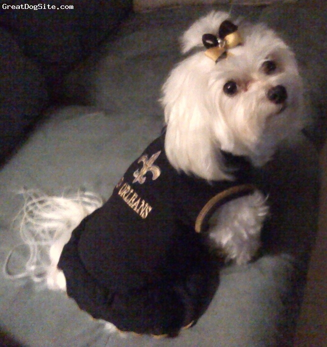 Maltese, 3 years old, white, Another picture of me when I am cheering for the New Orleans Saints football team.