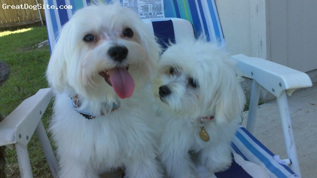Maltese, 1 year old, white, They are not from the same parents, but they love each other.
