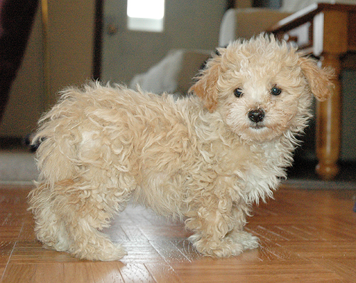 and Answer Malti Poo Photos Malti Poo Breeders Malti Poo Puppies