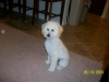 Malti Poo, 10 months, white with some apricot