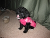 Malti Poo, 11 weeks, Black