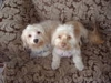 Malti Poo, One year, Cream