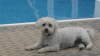 Malti Poo, 2, white with tan stripe down its back and on his ear