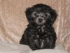 Malti Poo, 4 months, Black/grey
