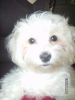 Malti Poo, 1, white w/ peach spottings
