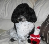 Malti Poo, 20 months, black and white