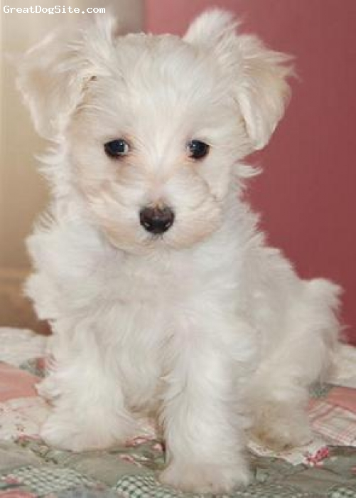 Malti Poo, unsure, cream, small