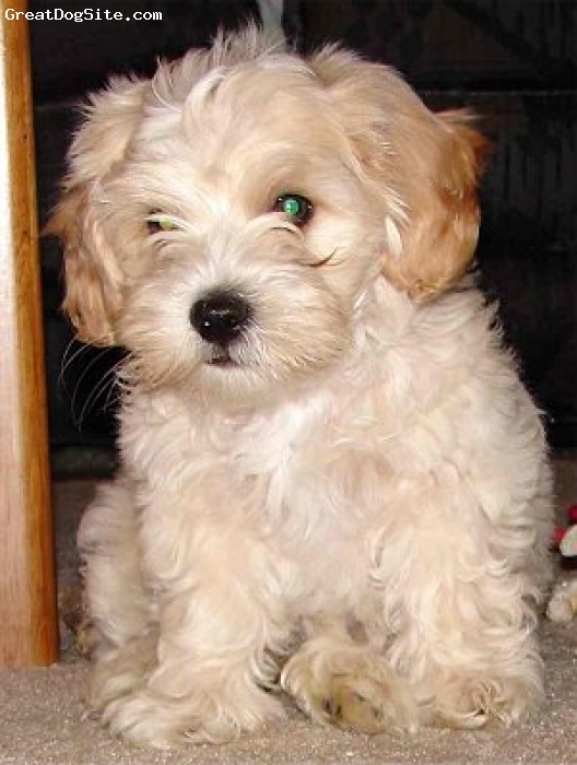 Malti Poo, unsure, white, nice looking dog