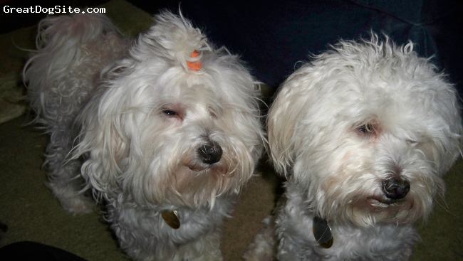 Malti Poo, 1yr, white with apricot, They are littermates. Bloo and Curtis will light up any atmosphere they are in