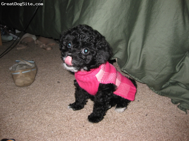 Malti Poo, 11 weeks, Black, She is precious!