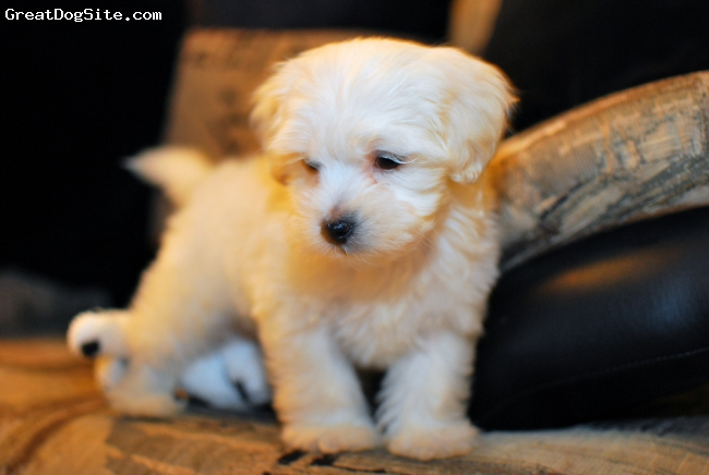 Malti Poo, 11 weeks, white, playful, cute, easy to trainned