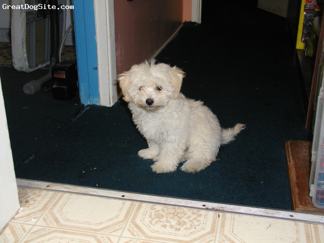 Malti Poo, 3, White, She is beautiful. She is now 3 but this picture was when she was but about 4 months old