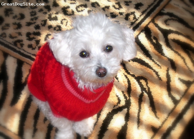 Malti Poo, 2 yrs., white, He is a dear!  Funny, playful, rambunctious, so loving & easy to train.  Also have a potbelly pig and they are great together.  He's a true love.