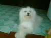 Maltichon, 1`year old, white