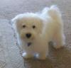 Maltichon, 9 months, white