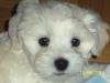 Maltichon, 7 weeks, White