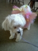 Maltichon, 1 year, White