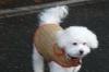 Maltichon, 6, white