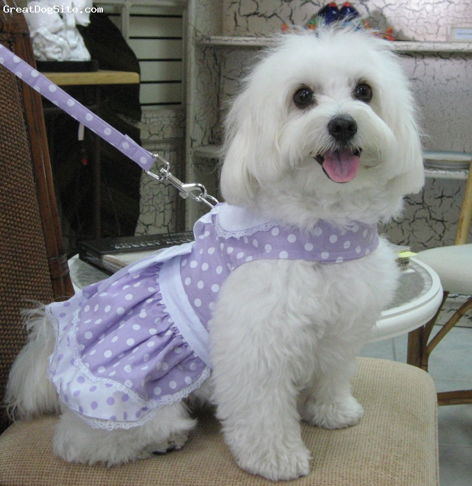 Maltichon, 20 months, white w/tan, We got Suki @ 7 weeks old from a breeder, her mother is a Maltese and her father is a Bichon. She was spayed @ 16 weeks and she is the most beautiful little doggie. She is never left alone as we take her everywhere we go. She is full grown and weighs 11 pounds. She loves to get dressed when we go out :-) She has a full closet of clothes too !