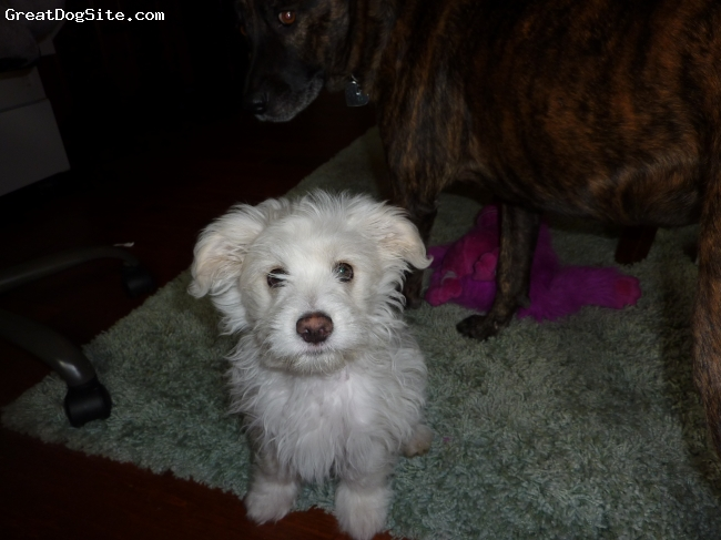 Maltichon, 3 months, white, 3 month old male maltichon.