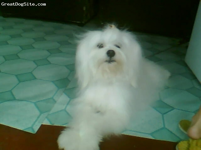 Maltichon, 1`year old, white, jim is very playfull and lively! although he shed, he doesn't shed that much like other purebred dogs..will do much to make you laugh and pet him!..and i LOVE him so much!!! =)