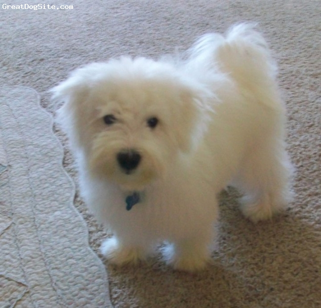 Maltichon, 9 months, white, softy is bichon maltese mix.hes weight is 16 pounds!!