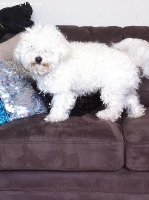 Maltichon, 2, white, bichon frise poodle x maltese 2yrs old