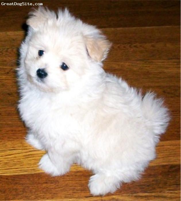 Maltipom, 3 months, white, unsure