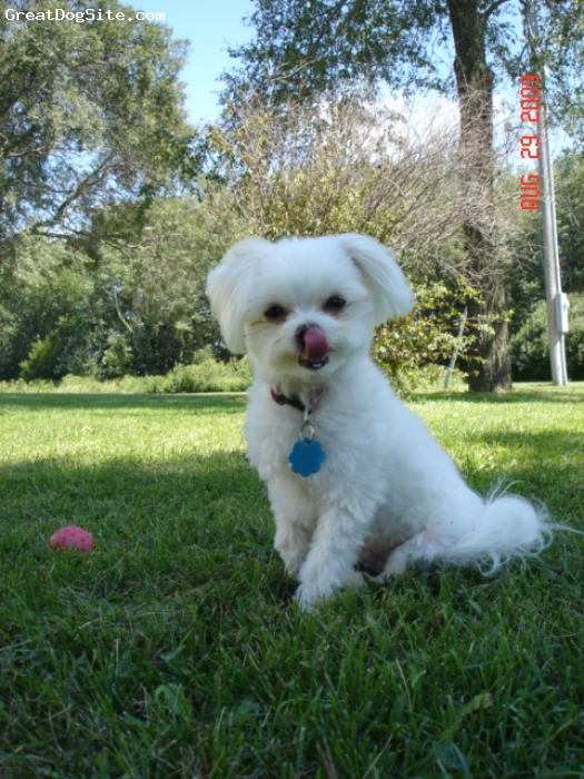 Maltipom, 2yrs, white, weight 3.9ibs white male. very smart, easy to train. loves to sit on lap.