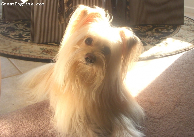 Maltipom, 3, Taupe White, Toby is a gorgeous male Maltipom with a type A personality.  Very friendly and loves people!