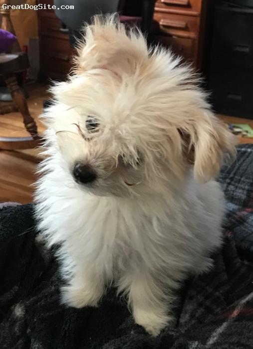 Maltipom, 3 months, White/cream, mother purebred Maltese & father purebred Pomeranian