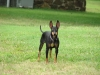 Manchester Terrier, 4 years, black and tan