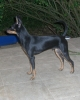 Manchester Terrier, 8 month, black & tan