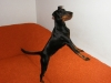Manchester Terrier, 1,5 year, black & tan