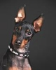 Manchester Terrier, 3, black/tan