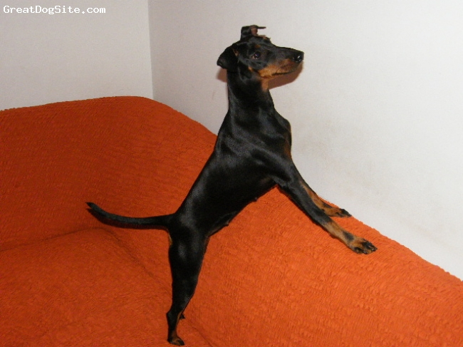 Manchester Terrier, 1,5 year, black & tan, Catching flys in the living room