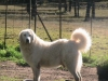 Maremma Sheepdog, 6, white