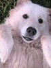 Maremma Sheepdog, 2, white