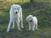 Maremma Sheepdog, 10mth, white